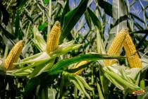DEKALB расширил линейку  новыми высокоурожайными гибридами кукурузы