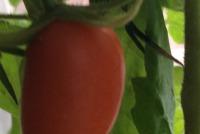 « ЭКО-культура» впервые на российском рынке эксклюзивно представит пять сортов голландских томатов