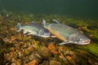 «Самую полезную рыбу в мире» предложили разводить на фермах