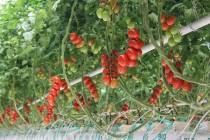 Больше свежих томатов круглый год. Открытие ТК «Тульский»