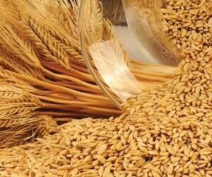 Зерно ячменя соответствует требованиям ГОСТ